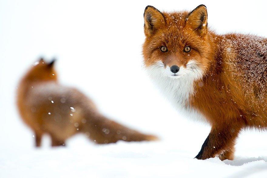 Горный инженер фотографирует лис