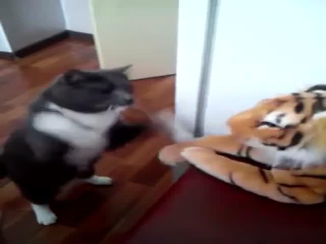 Бой кота с игрушечным тигром