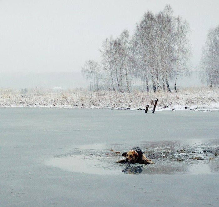 Спасение собаки из ледяной ловушки (8 фото)