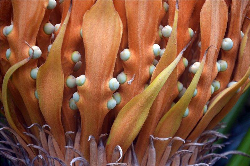 Необычная пальма с шишкой