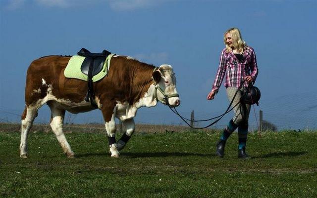 Скаковая корова