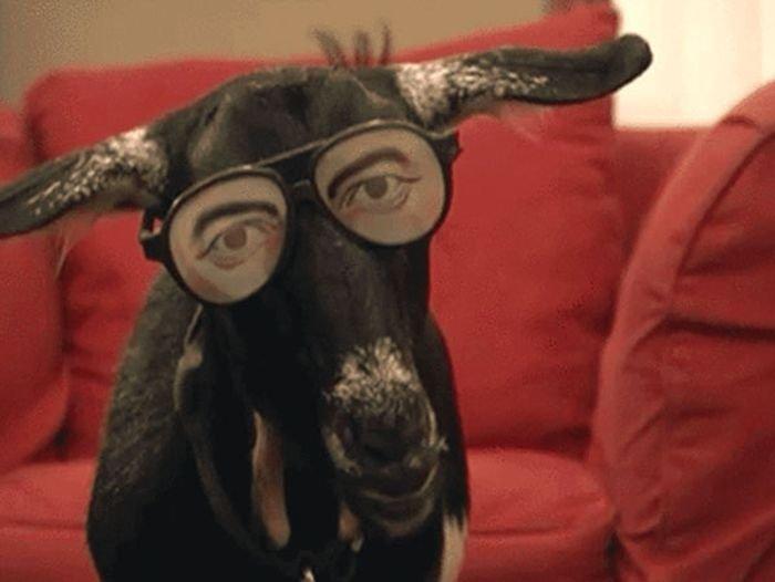 Очаровательные и смешные козы в гифках (15 гифок)