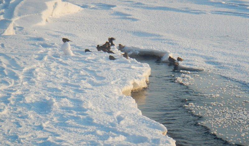 Откуда взялись моржи