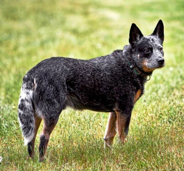 Породы самых умных собак