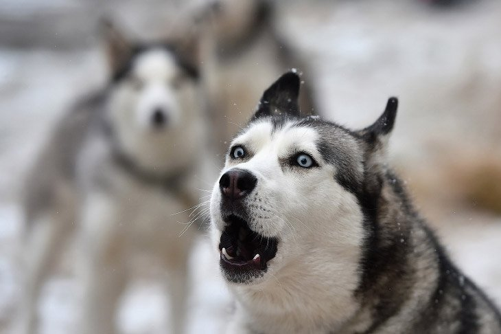 Ежегодная гонка на собачьих упряжках