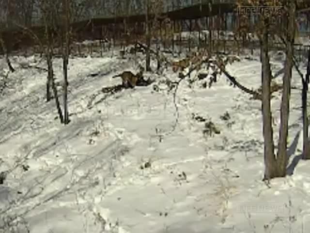 В сафари-парке тигр Амур ранил козла Тимура