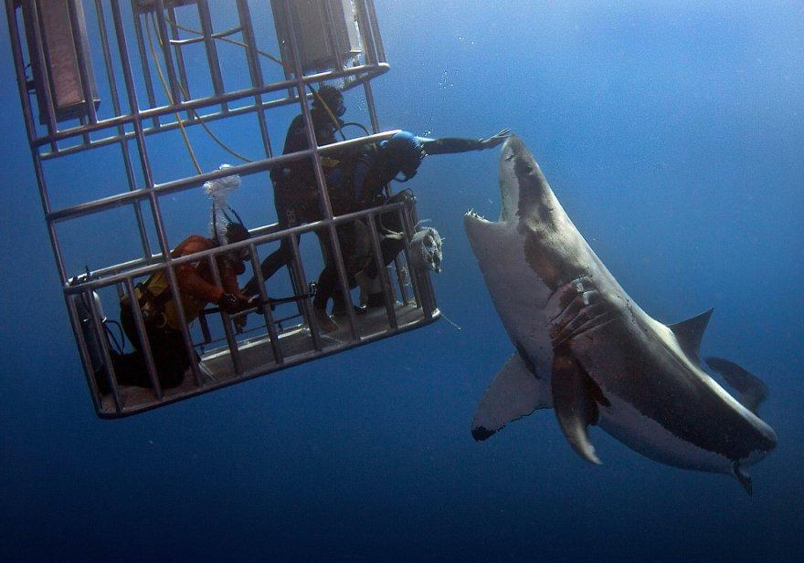Как потрогать большую белую акулу