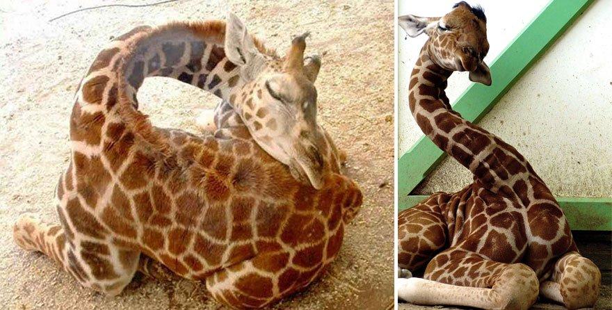 Как спят жирафы
