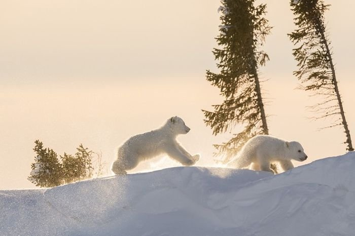 Фотограф провел 13 дней ожидания на 50-градусном морозе ради фото белых медведей (15 фото)