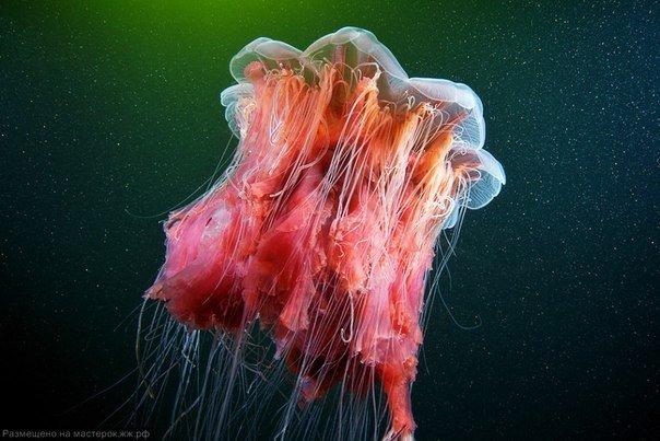 Самая крупная медуза