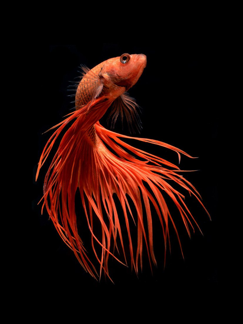 Фотографии бойцовских рыбок