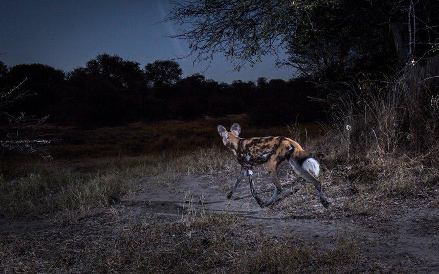 Африканские животные в естественной среде обитания на уникальных снимках с камер слежения