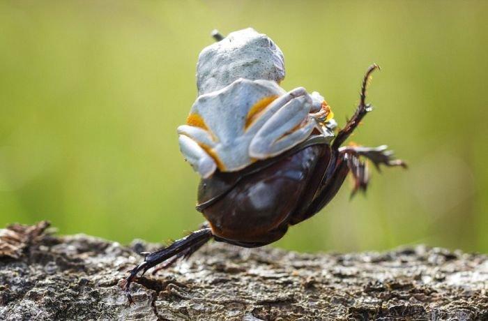 Лягушка верхом на жуке. Родео в миниатюре (6 фото)