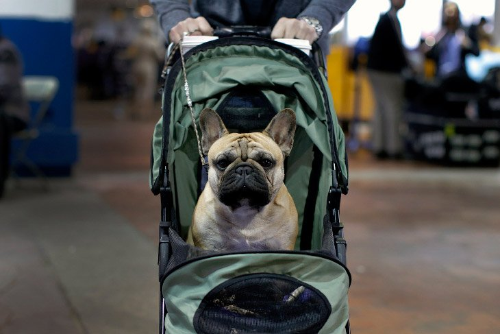 Выставка собак Westminster Kennel Club 2016