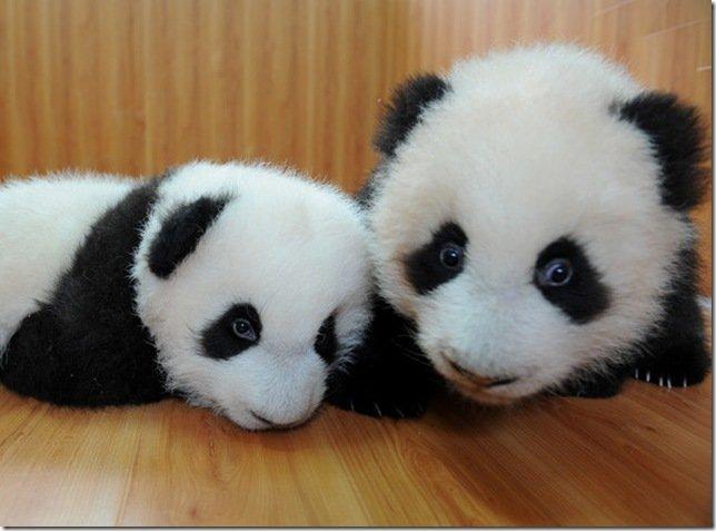 Милые панды умеют любить