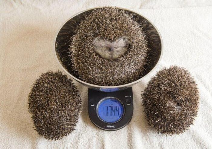 Толстую ежиху, не способную свернуться в клубок, посадили на диету (3 фото)