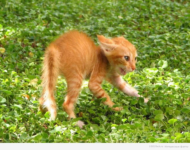 Интересные факты про кошачий язык