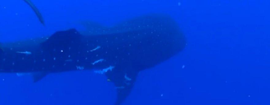 Встречу с китовой акулой ныряльщики точно запомнят надолго