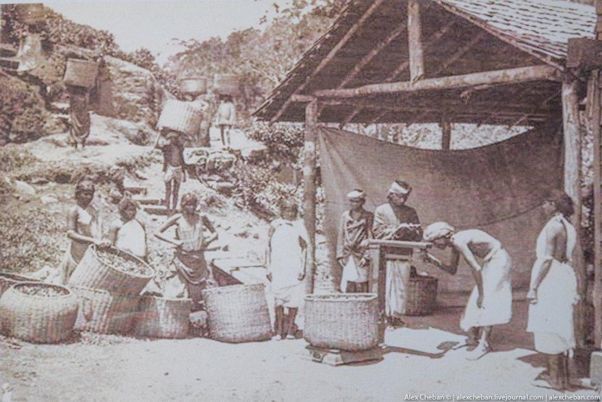 Как индусы собирают и производят чай