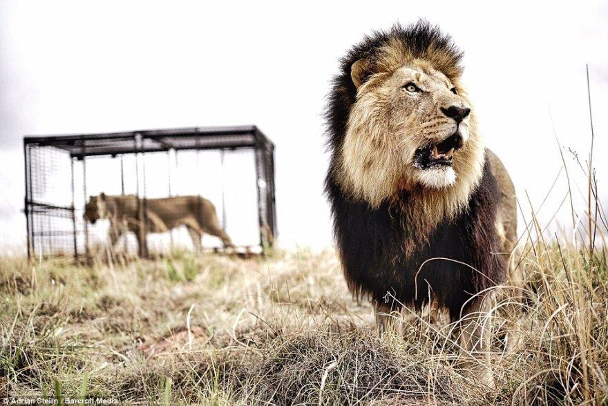 Шикарная фотосессия с участием диких львов для Mercedes-Benz