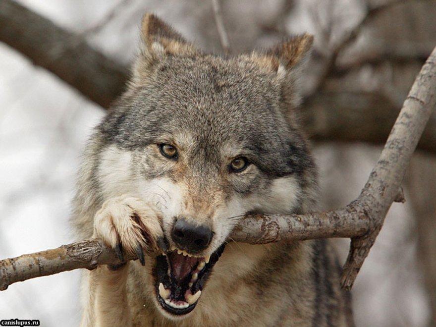 Что делают животные когда им угражает опасность?