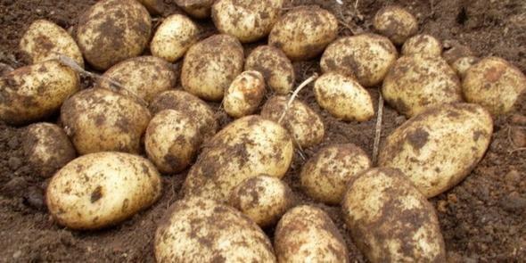Что нужно знать о картошке