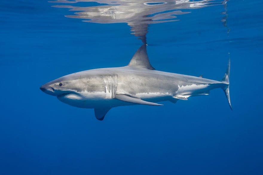 Джордж Пробст разрушает стереотипы о белых акулах