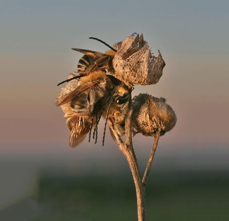Спящие пчелы