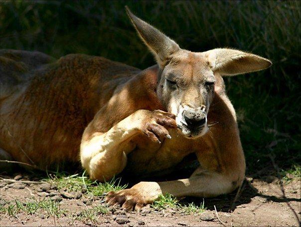 17 познавательных фактов о кенгуру