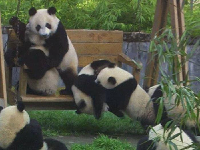 Гифки с неуклюжими пандами (15 гифок)