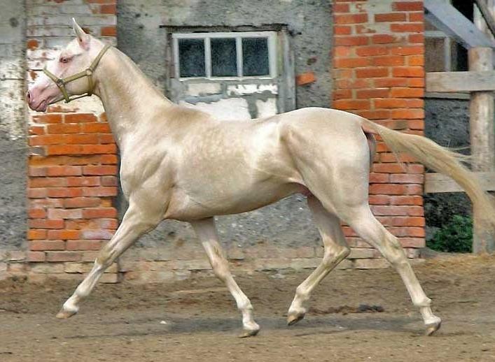Cамая редкая и удивительная порода лошадей кремовой или изабелловой масти