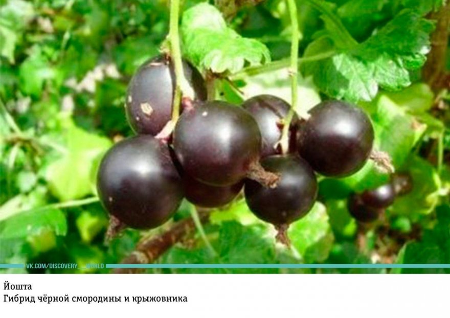 Малоизвестные гибридные фрукты и ягоды