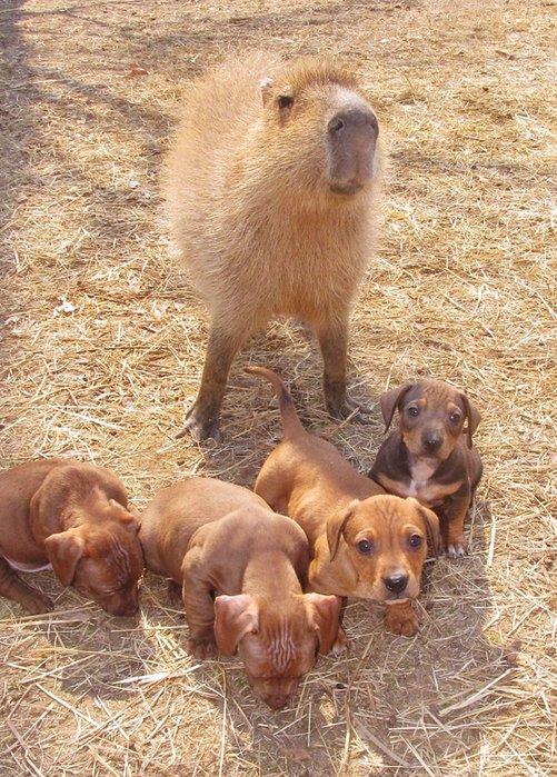 Капибара усыновила щенков