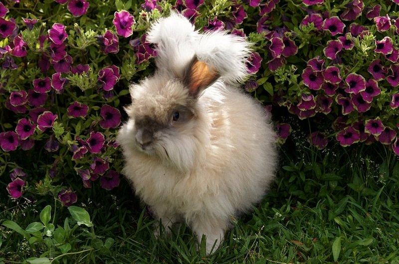 Cамая пушистая порода кроликов в мире
