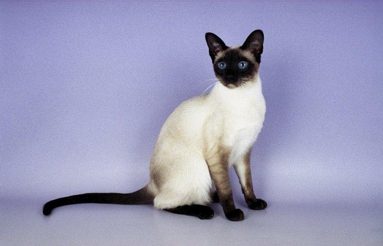 Любопытные факты о сиамских кошках