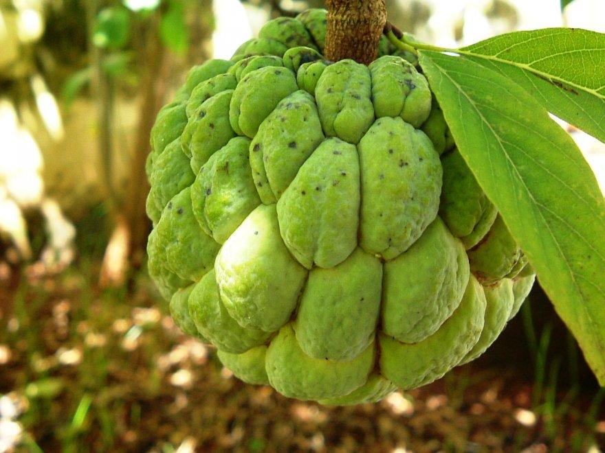 Интересный плод «сахарное яблоко»