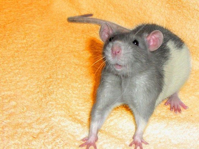 25 увлекательных фотофактов о крысах