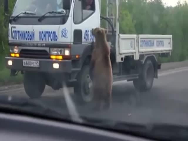 Медведь клянчает еду у автомобилистов