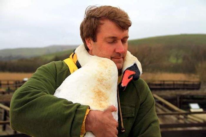 Лебедь обнял своего спасителя (5 фото)