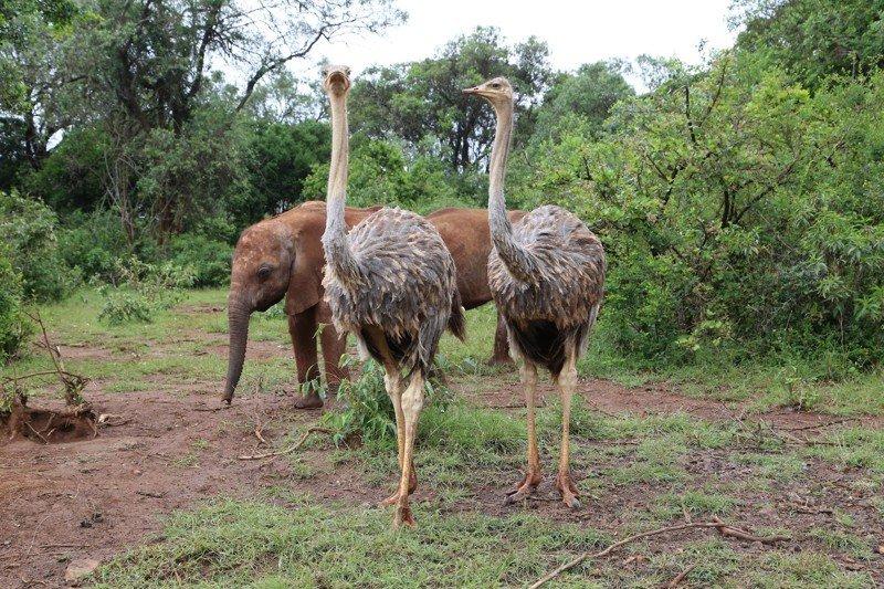 Страусы в Северной Кении помогают слонятам расти без мам