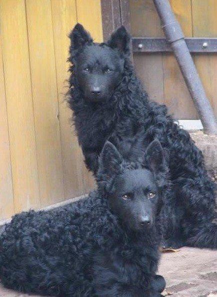Интересные редкие породы собак в мире