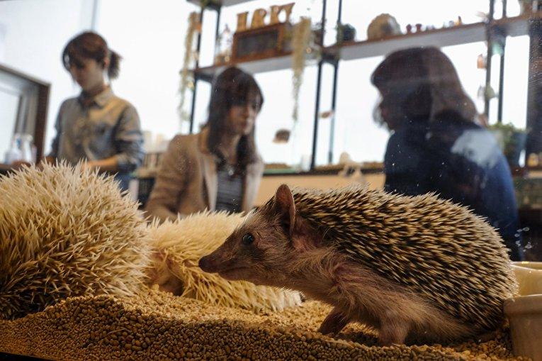 Открытие ежового кафе в Токио