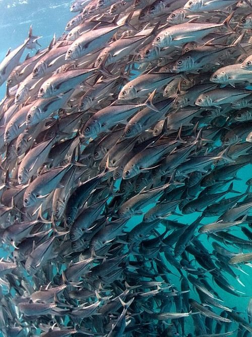 Рыбье торнадо (7 фото)