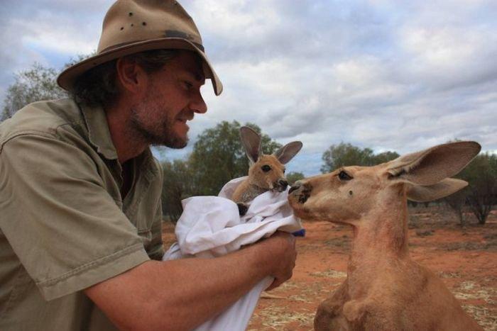 Австралиец Крис Барнс - спаситель детенышей кенгуру (20 фото)