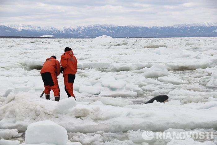 В Охотском море на Сахалине спасли зажатую во льдах косатку (5 фото + видео)