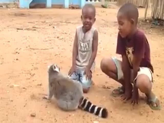 Лемур просит детей, почесать ему спину