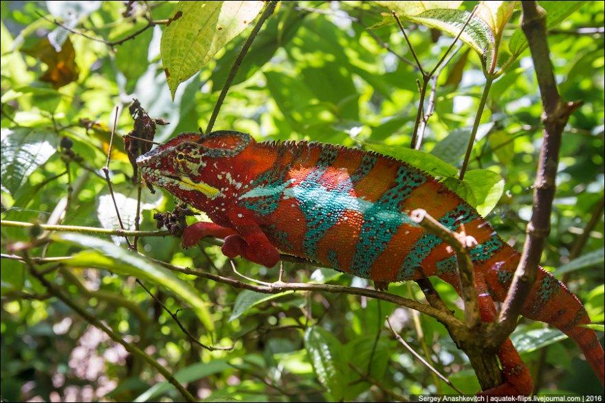Парад разноцветных хамелеонов