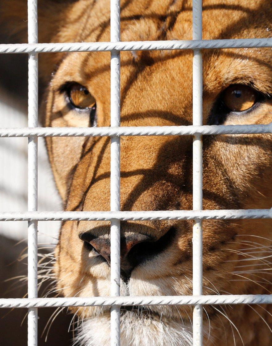Спасение 33 львов из цирков