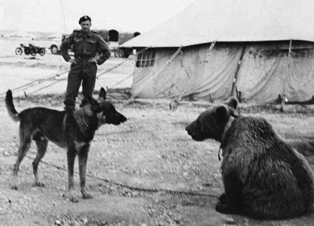 История боевого медведя
