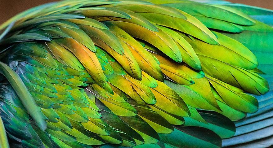 Необычайно красивый гривистый голубь